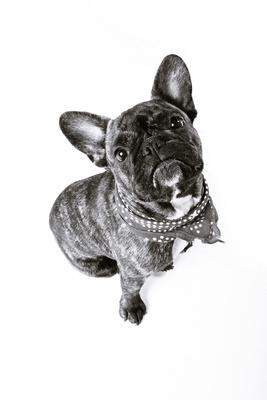 French Bulldog   Studio Pet Portrait