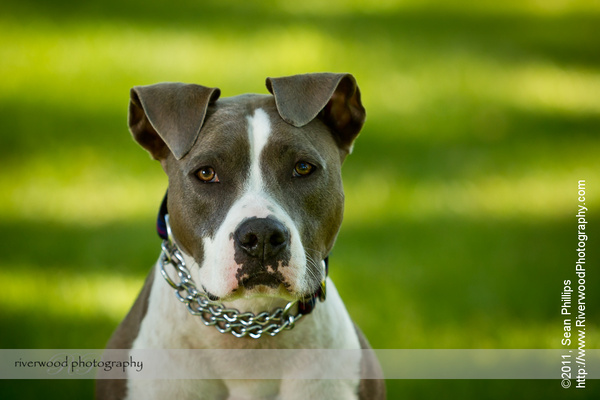 Dog Portrait with a Beautiful Pitbull